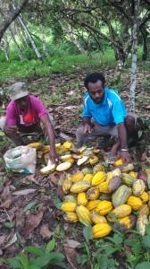 カカオを収穫する生産者