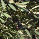 【PtoP NEWS vol.26ここが知りたい!】オリーブオイルの品質