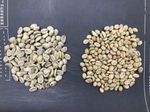 アラビカの生豆(左)とロブスタの生豆(右)
