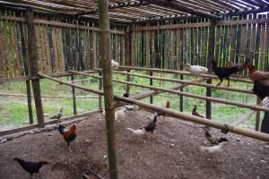 養鶏プロジェクト