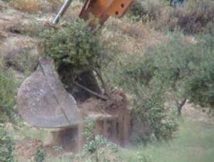 オリーブの木を重機を使って抜き取り