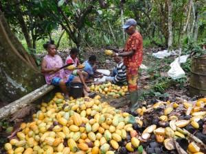 カカオポッド(果実)の収穫
