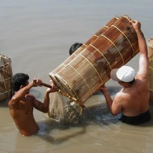 プラヤンとよばれる竹製の罠を使ったエビの収獲風景(シドアルジョ)