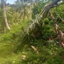 【バナナニュース293号】干ばつに台風、バナナへの被害が続いています