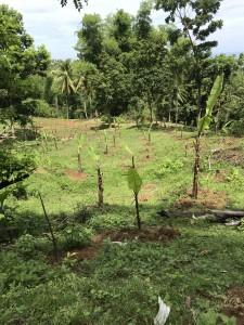 雨の降り始めを期待して植えたものの、立ち枯れてしまったバナナ