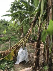 実の重みに耐えきれずに折れたバナナ